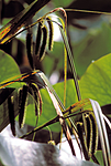bb712 / Carex pseudocyperus / Dronningstarr