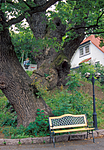 bb717 / Quercus robur / Sommereik
