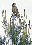 bb775 / Asio otus / Hornugle <br /> Pinus sylvestris / Furu