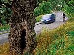 bb783 / Quercus robur / Sommereik