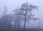 bb793 / Pinus sylvestris / Furu