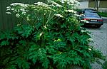 bb802 / Heracleum mantegazzianum / Kjempebjørnekjeks