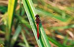 sr307 / Sympetrum sanguineum / Blodrød høstlibelle