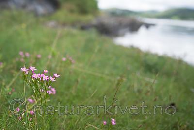 $R6WLKLF / Centaurium littorale / Tusengylden