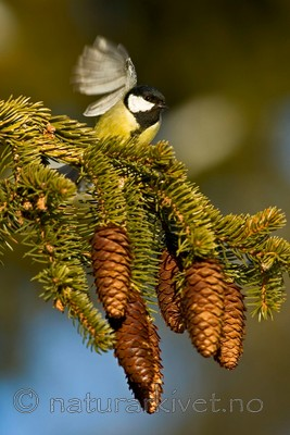 BB 05 0034 / Parus major / Kjøttmeis <br /> Picea abies / Gran