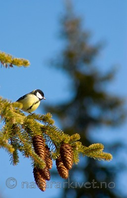 BB 05 0037 / Parus major / Kjøttmeis <br /> Picea abies / Gran