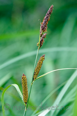 BB 09 0346 / Carex acutiformis / Rankstarr
