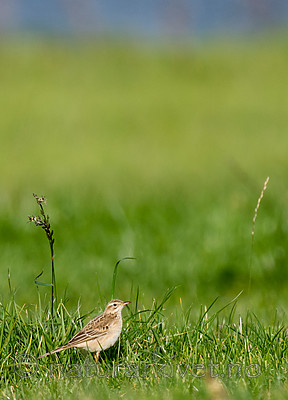 BB 15 0531 / Anthus richardi / Tartarpiplerke