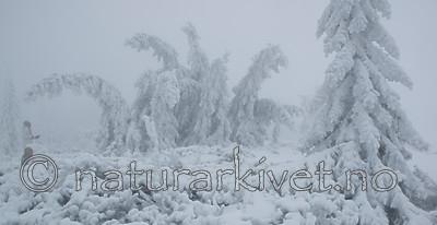 BB_20160101_0205 / Picea abies / Gran