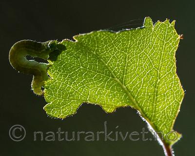 BB_20160304_0048 / Betula pubescens / Bjørk <br /> Betula pubescens tortuosa / Fjellbjørk <br /> Epirrita autumnata / Fjellbjørkemåler