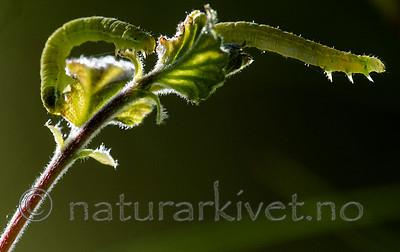 BB_20160304_0132 / Betula pubescens / Bjørk <br /> Betula pubescens tortuosa / Fjellbjørk <br /> Epirrita autumnata / Fjellbjørkemåler