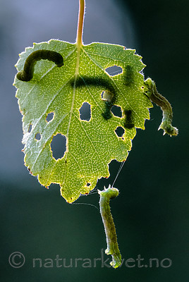 BB_20160304_0441 / Betula pubescens / Bjørk <br /> Betula pubescens tortuosa / Fjellbjørk <br /> Epirrita autumnata / Fjellbjørkemåler