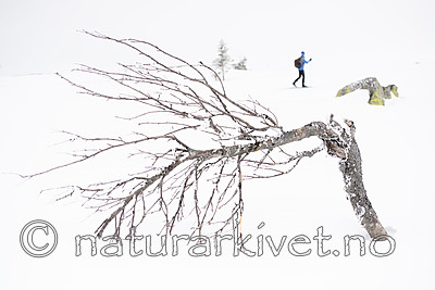 BB_20160325_0008 / Betula pubescens tortuosa / Fjellbjørk