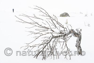 BB_20160325_0012 / Betula pubescens tortuosa / Fjellbjørk