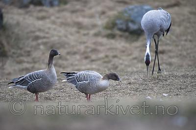 BB_20160402_0137 / Anser brachyrhynchus / Kortnebbgås <br /> Grus grus / Trane