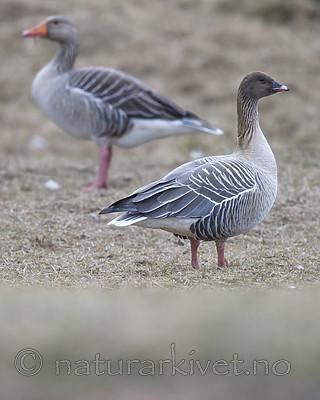 BB_20160402_0156 / Anser anser / Grågås <br /> Anser brachyrhynchus / Kortnebbgås