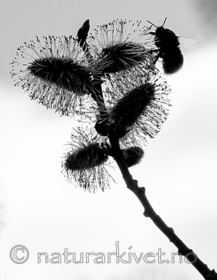 BB_20160419_0249 / Salix caprea / Selje