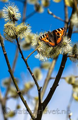 BB_20160419_0349 / Aglais urticae / Neslesommerfugl <br /> Salix caprea / Selje