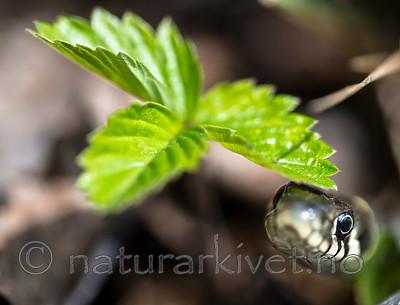 BB_20160424_0319 / Fragaria vesca / Markjordbær <br /> Natrix natrix / Buorm