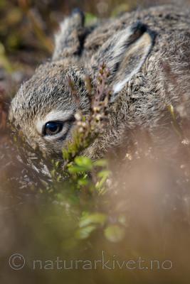 BB_20160517_0224 / Calluna vulgaris / Røsslyng <br /> Lepus timidus / Hare