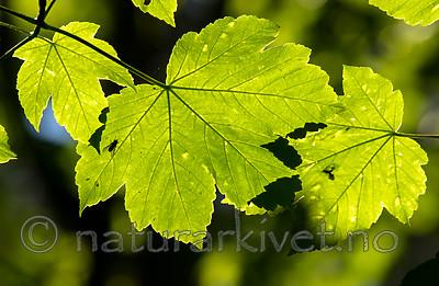 BB_20160525_0149 / Acer pseudoplatanus / Platanlønn