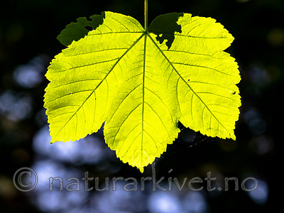 BB_20160525_0161 / Acer pseudoplatanus / Platanlønn