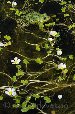 BB_20160603_0333 / Pelophylax esculentus / Hybridfrosk <br /> Ranunculus peltatus / Storvassoleie