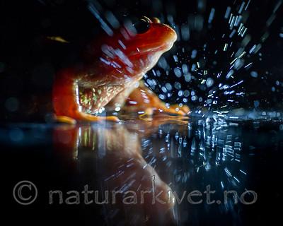 BB_20160619_0126 / Rana temporaria / Buttsnutefrosk