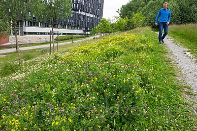 BB_20160624_0033 / Lathyrus pratensis / Gulflatbelg <br /> Trifolium hybridum hybridum / Alsikekløver <br /> Trifolium pratense / Rødkløver <br /> Trifolium repens / Hvitkløver