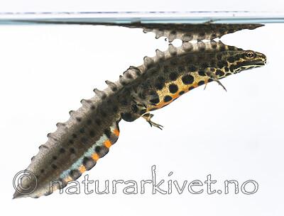 BB_20160625_0142 / Lissotriton vulgaris / Småsalamander