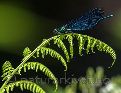BB_20160628_0808 / Calopteryx virgo / Blåvingevannymfe