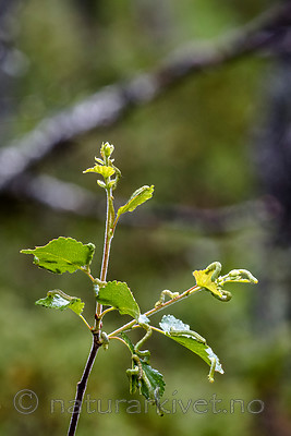 BB_20160701_0206 / Betula pubescens / Bjørk <br /> Betula pubescens tortuosa / Fjellbjørk <br /> Epirrita autumnata / Fjellbjørkemåler