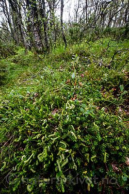 BB_20160701_0271 / Betula pubescens / Bjørk <br /> Betula pubescens tortuosa / Fjellbjørk <br /> Empetrum nigrum / Krekling <br /> Epirrita autumnata / Fjellbjørkemåler <br /> Vaccinium myrtillus / Blåbær