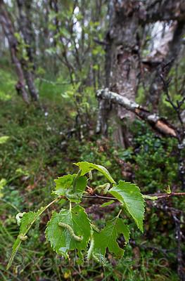 BB_20160701_0308 / Betula pubescens / Bjørk <br /> Betula pubescens tortuosa / Fjellbjørk <br /> Epirrita autumnata / Fjellbjørkemåler
