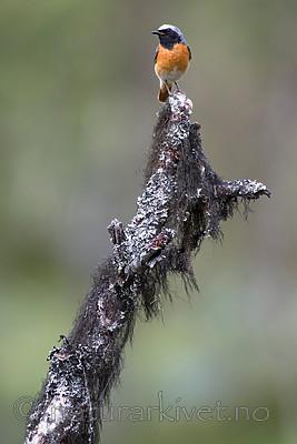 BB_20160703_0100 / Betula pubescens / Bjørk <br /> Phoenicurus phoenicurus / Rødstjert