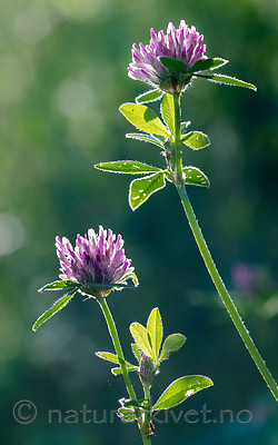 BB_20160709_0039 / Trifolium medium / Skogkløver
