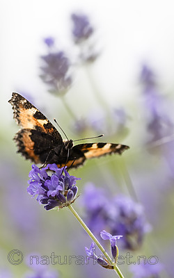 BB_20160710_0120 / Aglais urticae / Neslesommerfugl <br /> Lavandula angustifolia / Lavendel