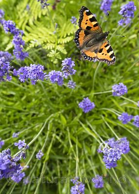 BB_20160710_0232 / Aglais urticae / Neslesommerfugl <br /> Lavandula angustifolia / Lavendel
