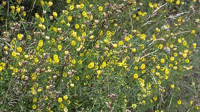 BB_20160710_0428 / Trifolium aureum / Gullkløver
