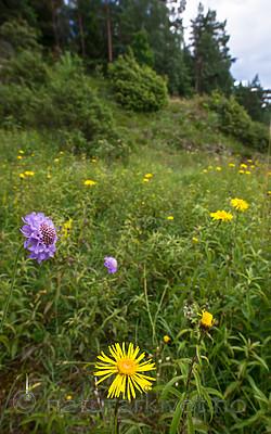 BB_20160712_0245 / Inula salicina / Krattalant <br /> Scabiosa columbaria / Bakkeknapp