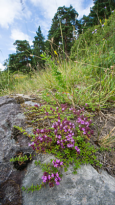 BB_20160712_0288 / Thymus serpyllum serpyllum / Smaltimian