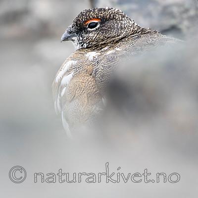 BB_20160715_0409 / Lagopus muta / Fjellrype <br /> Lagopus muta hyperborea / Svalbardrype