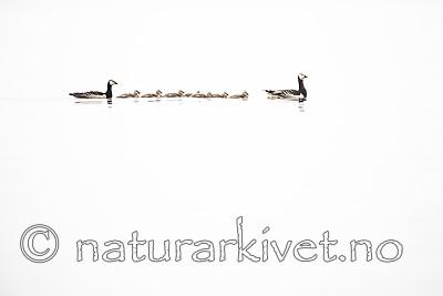 BB_20160716_0016 / Branta leucopsis / Hvitkinngås