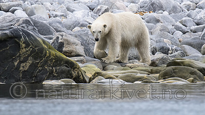 BB_20160717_0360 / Ursus maritimus / Isbjørn