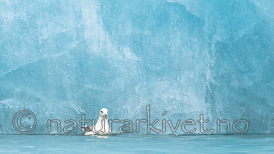 BB_20160718_0138 / Fulmarus glacialis / Havhest