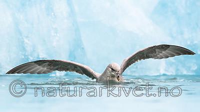 BB_20160718_0176 / Fulmarus glacialis / Havhest