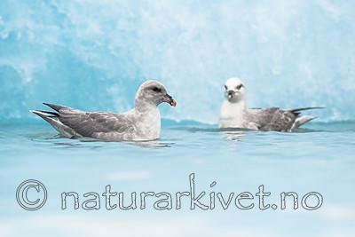 BB_20160718_0185 / Fulmarus glacialis / Havhest