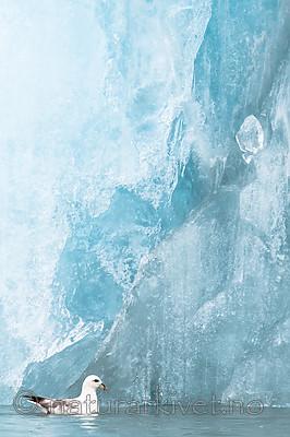 BB_20160718_0189 / Fulmarus glacialis / Havhest