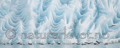 BB_20160718_0411 / Fulmarus glacialis / Havhest <br /> Rissa tridactyla / Krykkje <br /> Sterna paradisaea / Rødnebbterne