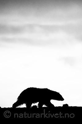 BB_20160719_0139-3 / Ursus maritimus / Isbjørn